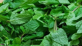 Proven Health Benefits of Mint Leaves ALL YOU NEED TO KNOW ABOUT mint leaves