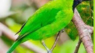 CARA MEMBANTU PROSES PERONTOKAN BULU CUCAK IJO | Burung  Cucak Hijau mabung