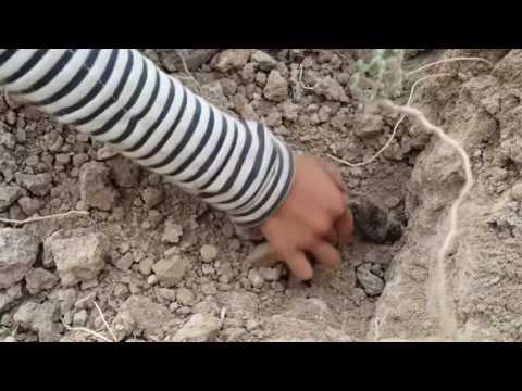 Кхмерские дети руками ловят змей
