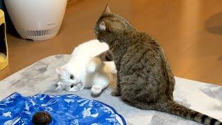 おもちゃで遊んでただけなのに喧嘩を売られる猫!