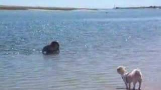 Newfoundland & Shih Tzu Swimming In Bass River