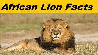 Interesting Facts About African Lion Characteristics Diet Behavior Habitat
