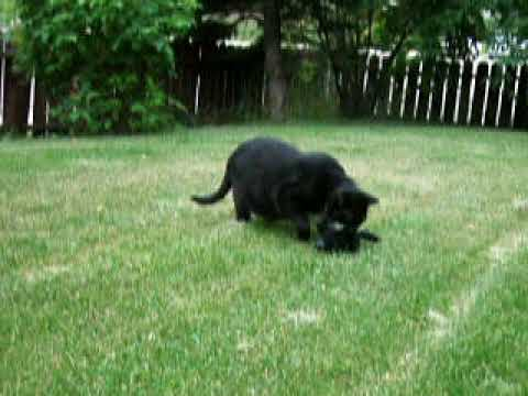 Panther Attacking Animal Black Panther K...