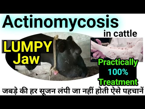 Lumpy Jaw In Buffalo Cows / Actinomycosis In Cattle Symptoms Treatment