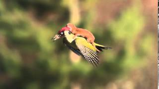 Weasel on a woodpecker...