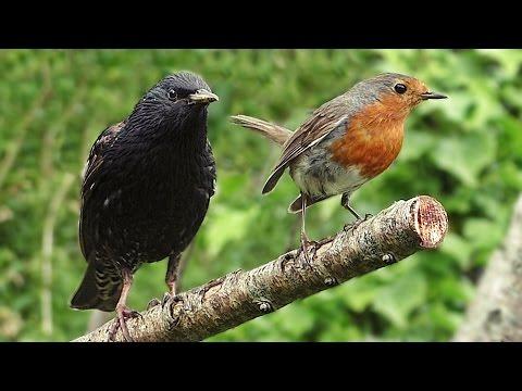 Birds of Britain - Garden Birds Volume 1 : Filmed in Slow Motion