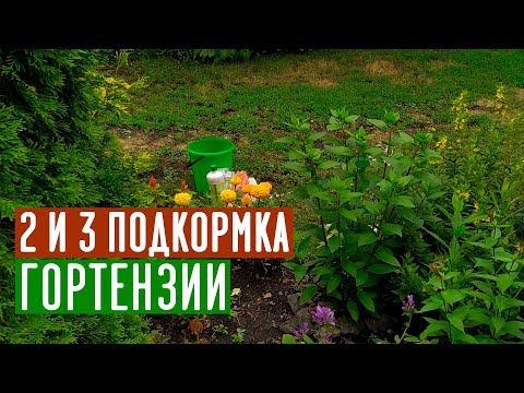 После этих подкормок шикарное цветение гортензии обеспечено / Садовый гид
