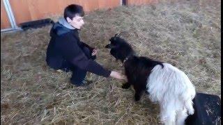 Koza dává pac