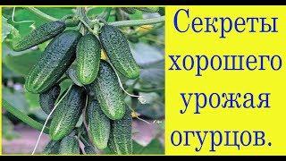 Секреты хорошего урожая огурцов. Сад и огород выпуск 231