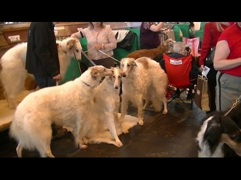Borzoi in Crufts 2017
