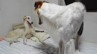 3歳10ヶ月メス。発情期に入って1週間、なぜか母親ジョリーの耳や頭...