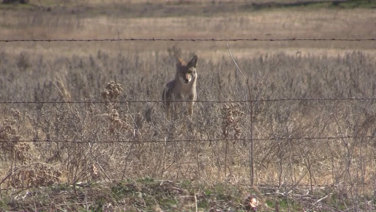 coyote hunting in oklahoma decoy dogs youtube. Black Bedroom Furniture Sets. Home Design Ideas