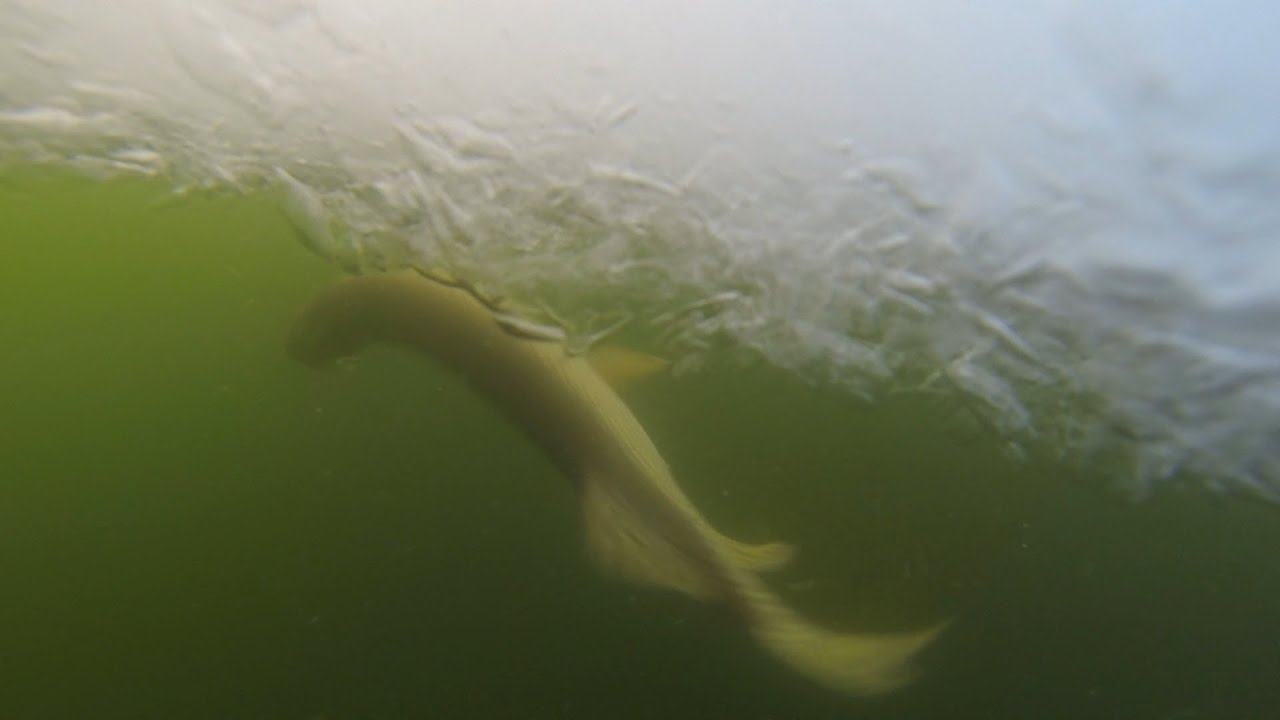 Huge northern pike caught ice fishing blackstrap lake for Lake hamilton fishing report