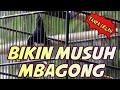 Kacer Tarung Tanpa Iklan Ngotot Bikin Lawan Mbagong  Mp3 - Mp4 Download