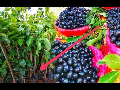 Black Jamun Plants With Grafted | 1st Year Fruiting Start | Apple Ber Nursery I