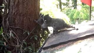 Mama raccoon teaches baby to climb tree
