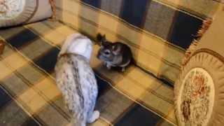 Cat and chinchilla - Кошка и Шиншилла - 猫とチンチラ