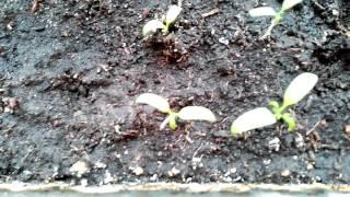 Как правильно посадить рассаду томатов дома.(В этом видео я хочу рассказать как правильно посадить рассаду томатов дома. Если это делать с удовольствием..., 2016-04-08T15:25:54.000Z)