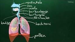 Hengitys (yläkoulu)