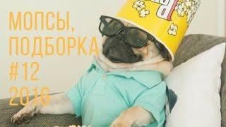 Приколы! Подборка Смешнот с Мопсами. 3 минуты хорошего настроения! 2016 Funny Pugs Compilation 3 min
