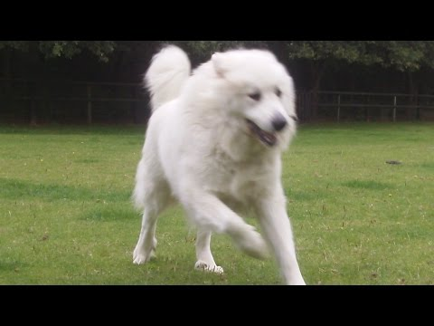 Pyrenean Mountain Dog Yogi at A & B Dogs Boarding & Training Kennels.