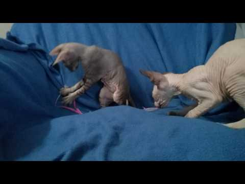 2 born bald peterbald kittens with string