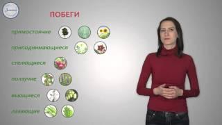 14  Биология 6кл  Побег   внешнее и внутреннее строение