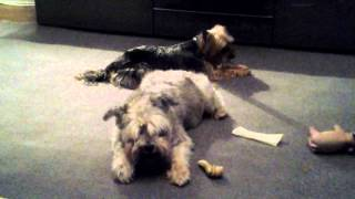 Schnauzer And Yorkie Throwing A Deafy