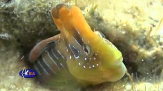 Морская собачка павлин. Рыбы Черного моря. Salaria pavo peacock blenny