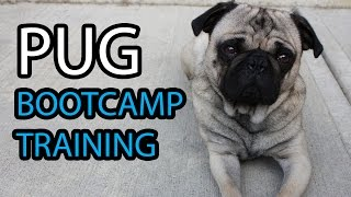 Pug Bootcamp Residential Puppy Training - G3 Dogs