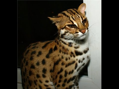 Леопард картинки нарисованные 4