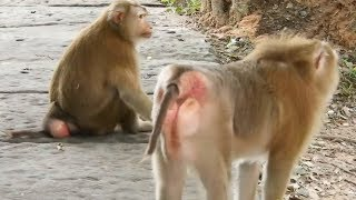 OMG !!! Why Not, Pigtail Monkey Meeting How Monkey Breeds Monkey with monkey