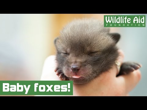 Baby fox cubs arrive at Wildlife Aid!