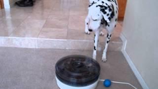 Kenidy The Dalmatian - Protecting The Food Dehydrator