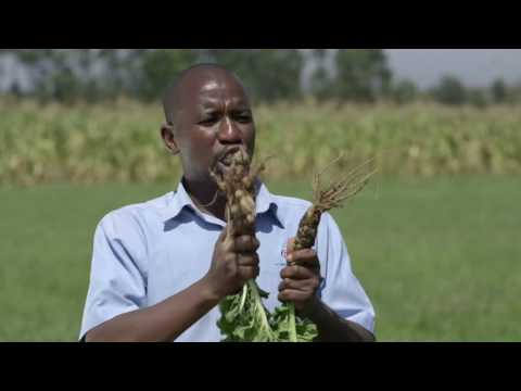Shamba Shape Up Sn 07 - Ep 9 Dairy Farming, Vegetables, Certified Seeds (Swahili)
