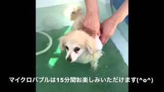 わんこの湯の使い方を小型ミックス犬ゼブラ君が紹介