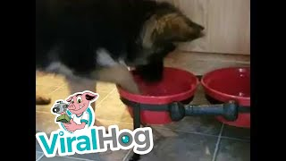 Puppy Tries to Work Out Her Water Bowl