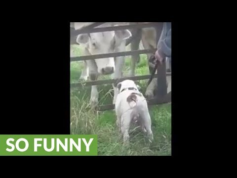 Cows absolutely fascinated by bulldog's presence