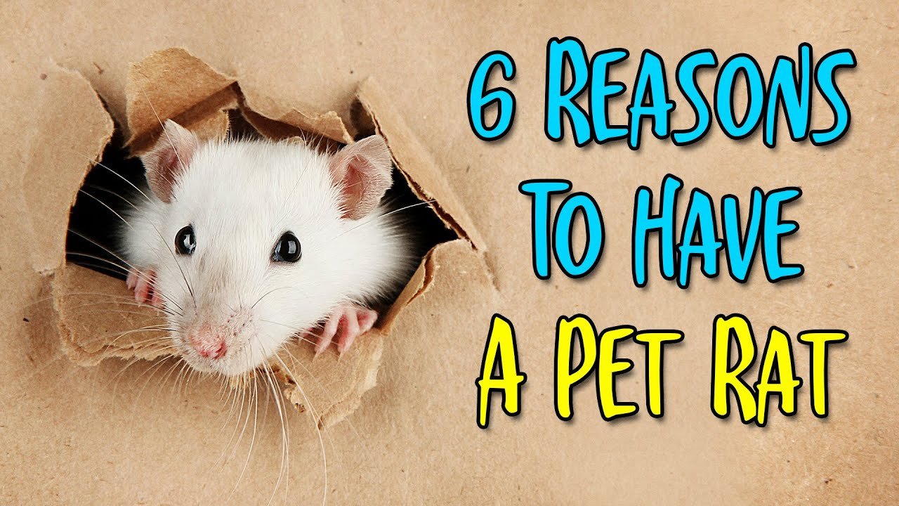 6 Fun Facts About Pet Rats ????