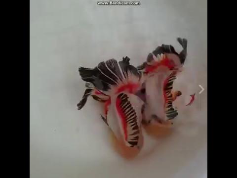 Goldfish china pareja preciosa de peces de colores peces for Peces de colores para acuarios