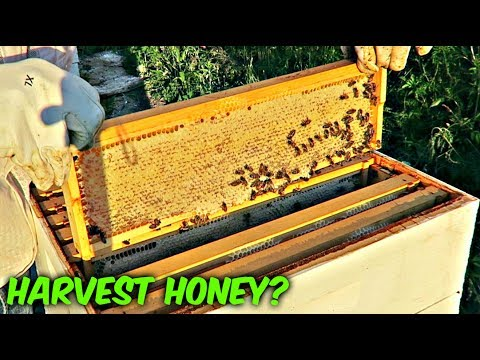 Is Honey Ready for Harvest? - Beekeeping