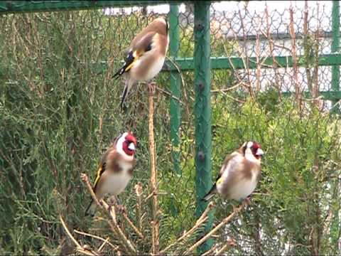 goldfinches singing.mpg