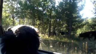 Cavalier King Charles Spaniel Herds Free Range Cows In Alberta, Canada
