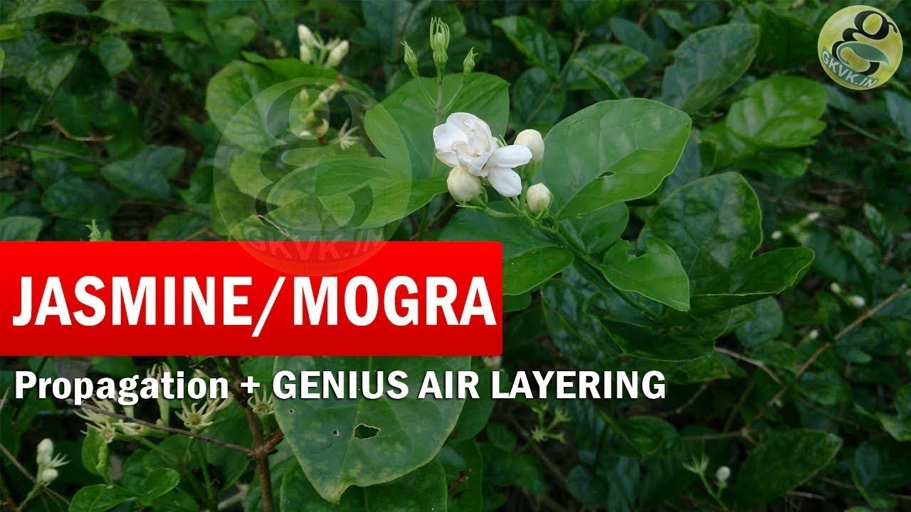 How To Grow Mogra Jasmine Plant From Cutting And Genius Air Layering