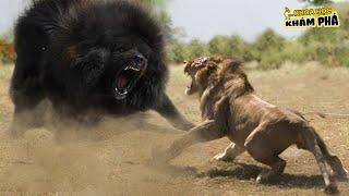 Chó Ngao Tây Tạng Thần Khuyển Dũng Mãnh Nhất Loài Chó - Nỗi Khiếp Sợ Tận Cùng Của Báo và Sư Tử Núi