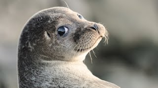 Смешные видео про животных, приколы   морской лев ходит как человек!