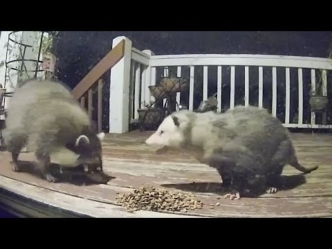 Raccoon Possum Cat Encounters Compilation