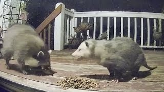 Raccoon Possum Cat Encounters Compilation