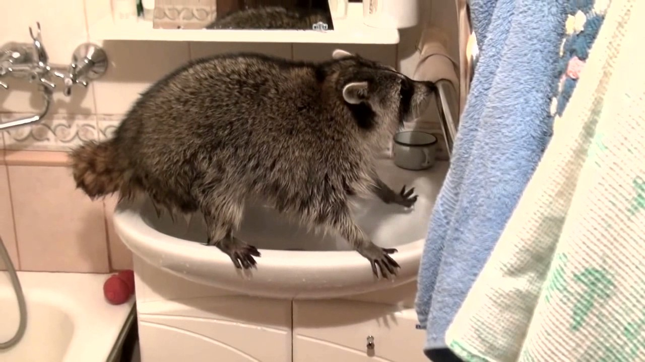 Raccoon Swims In The Bath Want To Take A Bath YouTube