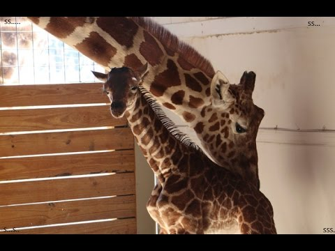 April the Giraffe  and her baby's first step
